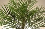 Как из косточки финика вырастить пальму
