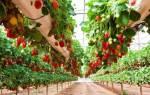 Как вырастить клубнику в теплице зимой