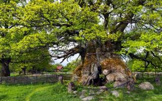 Как быстро растет дуб из желудя