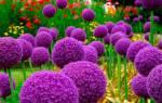 Декоративный лук можно употреблять в пищу