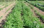 Горчица как сидерат при выращивании картофеля