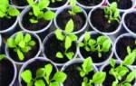 Как вырастить астры из семян в домашних условиях
