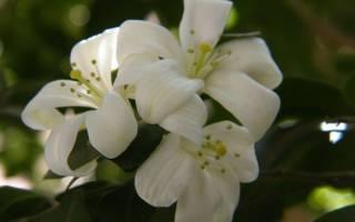 Как выглядит цветок жасмин