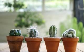 Как пересадить в домашних условиях кактус