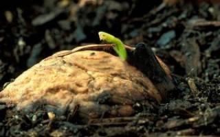 Как вырастить грецкий орех из плода на участке