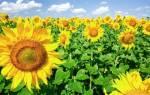 Как называется цветок подсолнуха