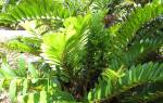 Денежное дерево замиокулькас как пересаживать