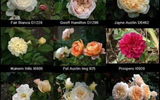 Как обрезать отцветшую розу