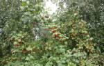 Как выглядит куст боярышника