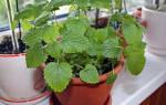 Как выращивать мелиссу в домашних условиях
