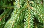Как правильно сажать елку осенью