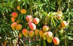 Как дома вырастить манго