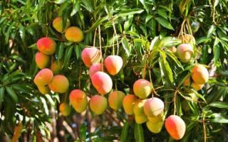 Как вырастить манго из косточки в домашних условиях в горшке