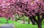 Дерево декоративное как называется