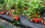 Как выращивать клубнику на пленке