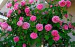 Как на зиму укрывать вьющиеся розы