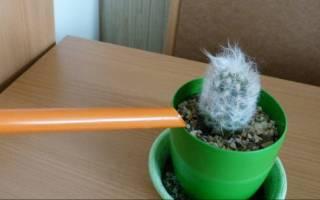 Все о кактусе как комнатном растении