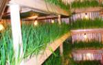 Выращивание лука на перо зимой в гараже