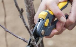 Как обрезать черешню осенью чтобы был хороший урожай