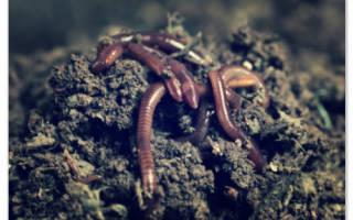 Как земляные черви размножаются