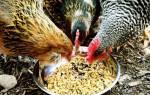 Как и чем кормить кур несушек в домашних условиях
