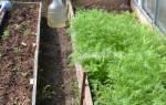 До какого времени можно сеять сидераты осенью