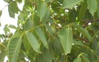 Как выглядит дерево ореха грецкого ореха