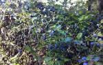 Как из черенков вырастить жимолость