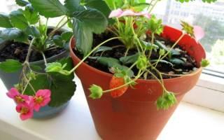 Как вырастить на балконе клубнику