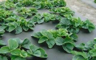 Как выращивать клубнику под черной пленкой