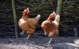 Как повысить яйценоскость кур в зимнее время в домашних условиях