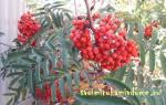 Как выглядит дерево рябины