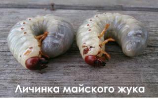 Как избавиться от личинки майского жука на клубнике