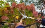 Как правильно укрыть на зиму розовую гортензию