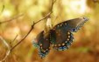 Как появляется бабочка из гусеницы