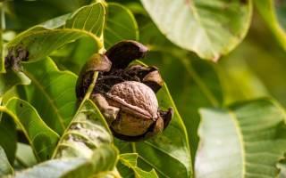 Как выглядят листья ореха