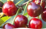 Болезни вишни в подмосковье и их лечение
