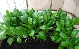 Как вырастить шпинат дома на подоконнике
