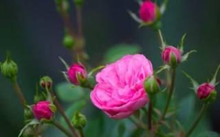 Как вырастить комнатную розу из семян
