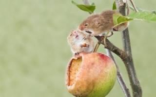 Как защитить саженцы зимой от грызунов