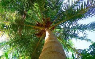 В какую землю сажать пальму