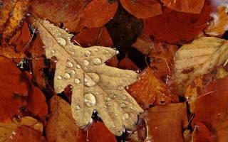 Дуб осенью как выглядит