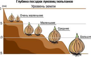 Как и когда сажать луковицы тюльпанов осенью