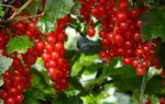Как обновить куст смородины красной