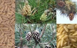 Для чего полезны кедровые орехи для мужчины