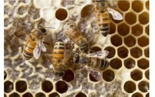 Зачем пчелы собирают пыльцу