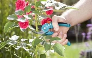 Как на осень обрезать розы