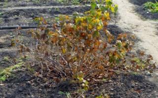 Как подготовить на зиму кусты смородины