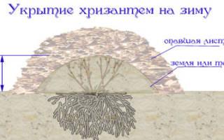 Как на зиму укрыть хризантемы на зиму