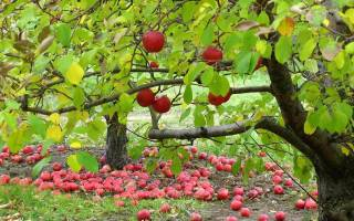 В какое время нужно подкармливать деревья осенью